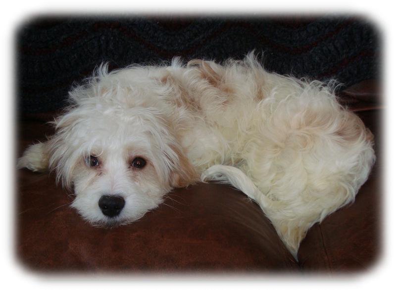 Cavachon Puppies for Sale | Ballyhara | 763-232-0001
