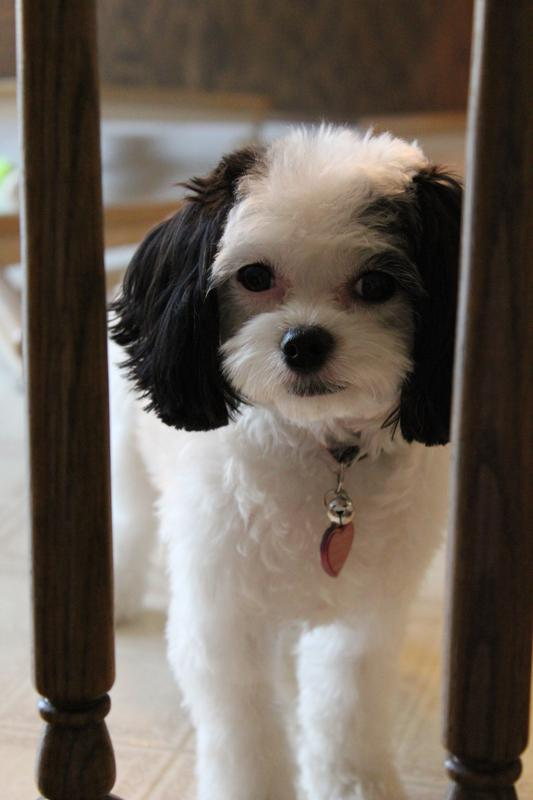 Cavachon Puppies for Sale   Ballyhara   763-232-0001