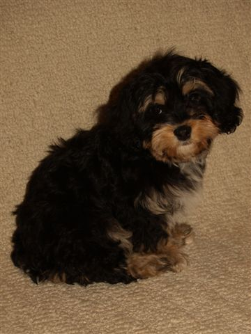 Black And Tan Cavachon Puppies For Sale