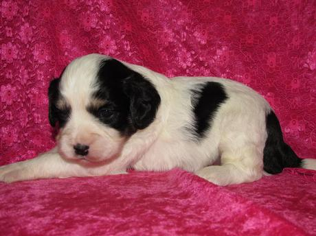 purebred puppies dogs for sale directly from reputable